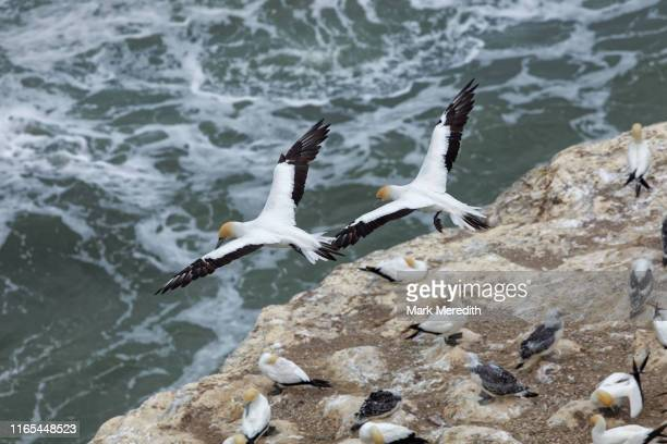 gannets at muriwai gannet colony on auckland's west coast - gannet stock pictures, royalty-free photos & images
