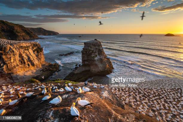 gannets at sunset - gannet stock pictures, royalty-free photos & images