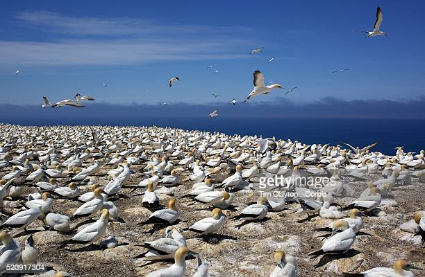 Gannets at the Gannet Colony at Cape Kidnappers Hawkes Bay New ZealandThe famous Cape Kidnappers Gannet Colony is the largest most accessible...