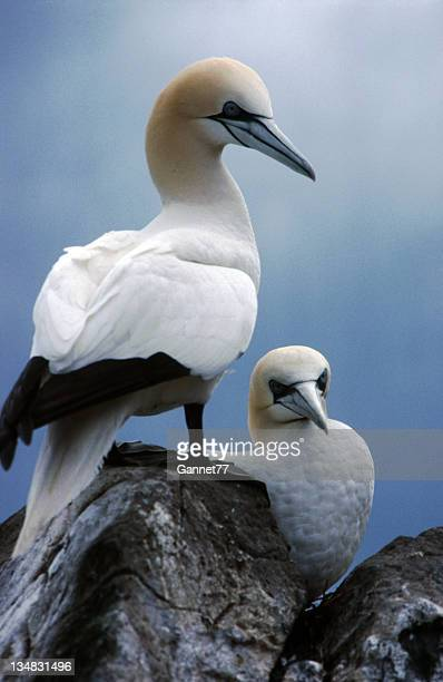 gannets, bass rock, scotland - gannet stock pictures, royalty-free photos & images