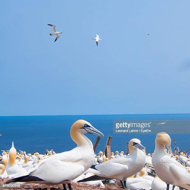 gannets by sea against clear sky - gannet stock photos and pictures