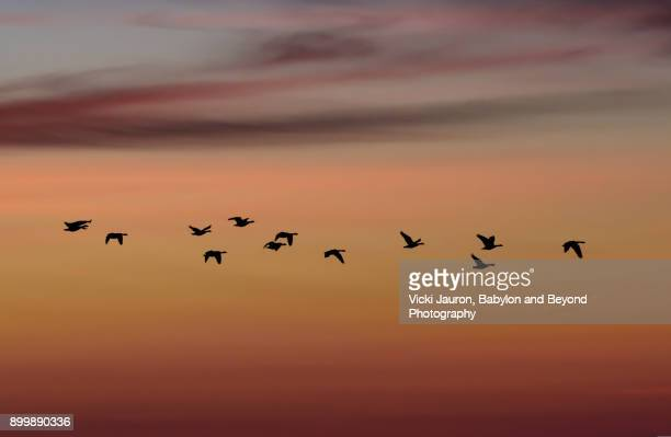 gannets flying in a line against sunrise sky - wantagh stock pictures, royalty-free photos & images