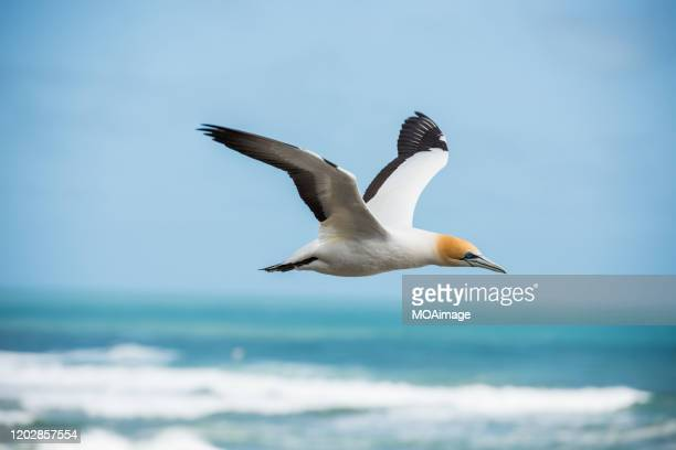 gannets' habitat at muriwai gannet colony on auckland's west coast - gannet stock pictures, royalty-free photos & images