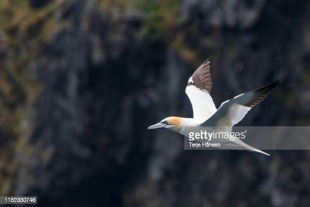 gannets in flight, spring - gannet stock pictures, royalty-free photos & images