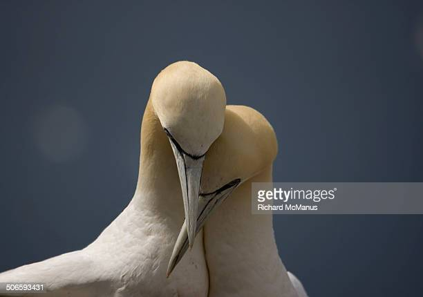 gannets in love - gannet stock pictures, royalty-free photos & images