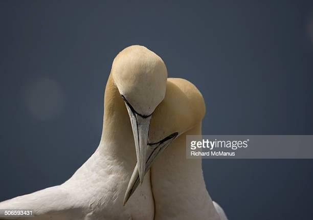 gannets in love - jan van gent stockfoto's en -beelden