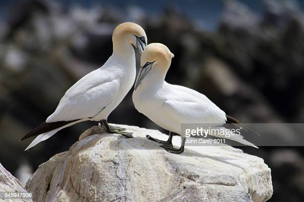 gannets on saltee island - gannet stock photos and pictures
