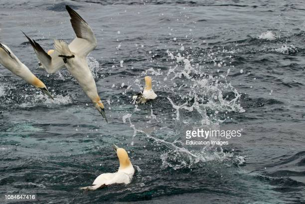 Gannets Sula Bassano diving for mackerel off Shetland