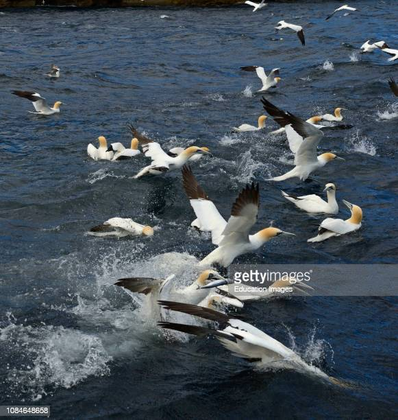 Gannets Sula Bassano feeding on shoal of Mackerel off Noss Shetland June