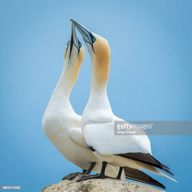 gannets together - gannet stock pictures, royalty-free photos & images