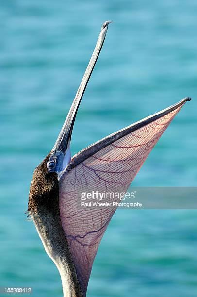 Gaping Brown Pelican