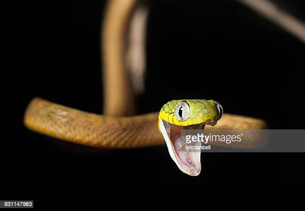 gaping green cat snake (boiga cyanea), malaysia - cat snake stock photos and pictures