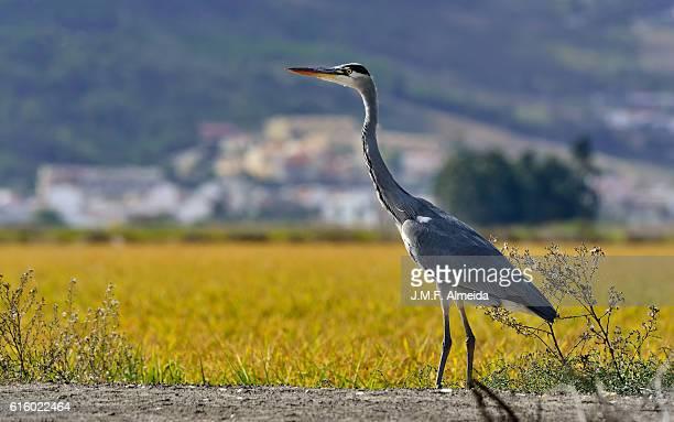 Garça real - Grey heron - Ardea cinerea