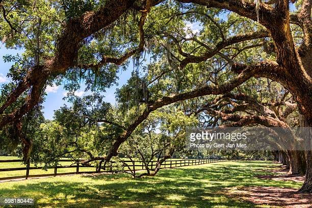 garden and pasture in charleston, south carolina - boone hall plantation stock pictures, royalty-free photos & images