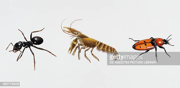 Garden ant Formicidae Freshwater crayfish or Whitefooted Crayfish Astacidae and Fungus beetle Erotylidae Artwork by Brin Edward