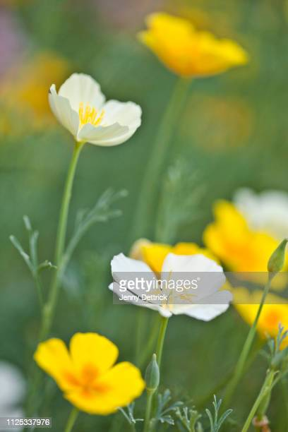 garden bed of poppies - california golden poppy stock pictures, royalty-free photos & images
