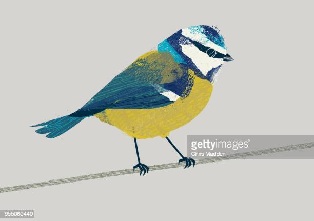Garden Bird: Blue Tit
