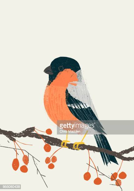 Garden Bird: Bullfinch
