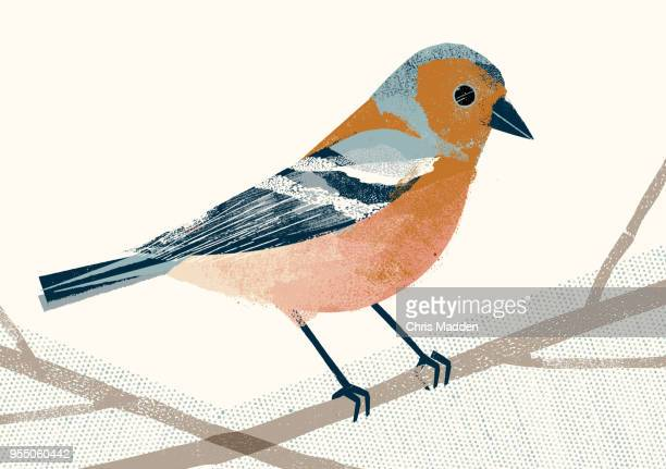 garden bird: chaffinch - illustration stock pictures, royalty-free photos & images
