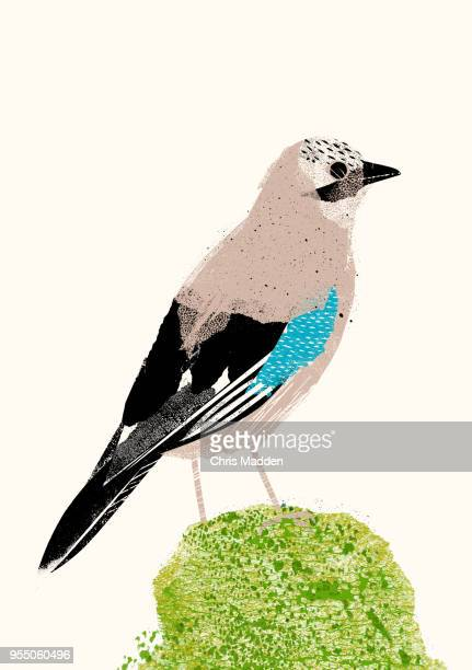Garden Bird: Jay