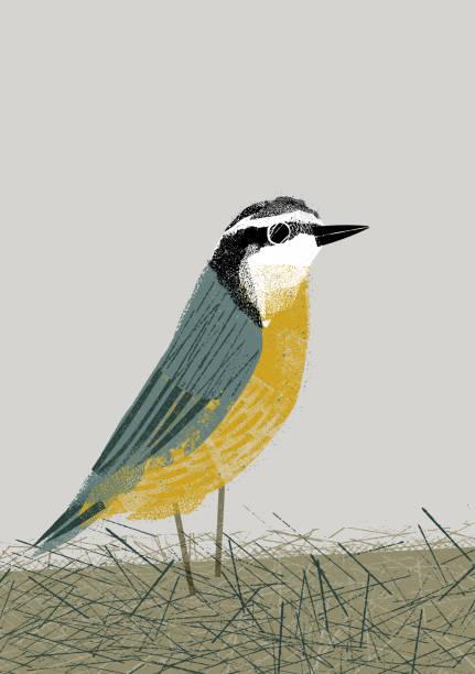 Garden Bird: Nuthatch