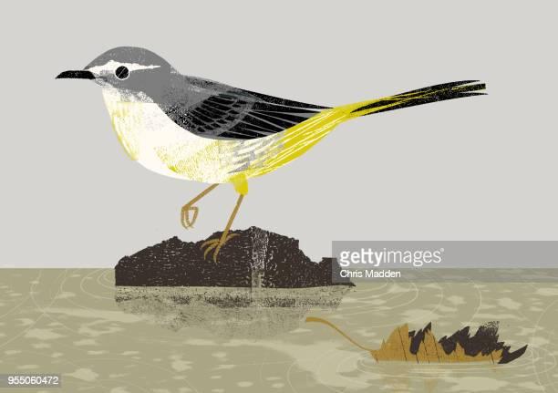 garden bird: wagtail - セキレイ ストックフォトと画像
