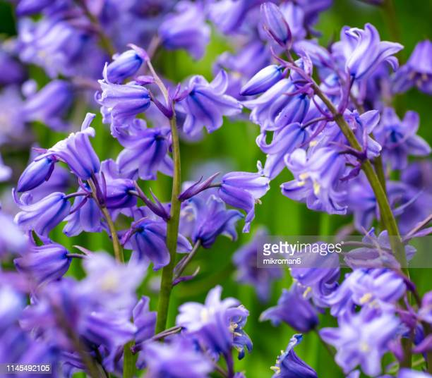 Garden bluebell flower