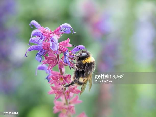 garden bumblebee on salvia - bumblebee stock pictures, royalty-free photos & images
