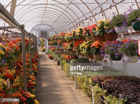 Garden Center Nursery Greenhouse With Potted Flower Plants Retail Display Stock Photo Getty Images