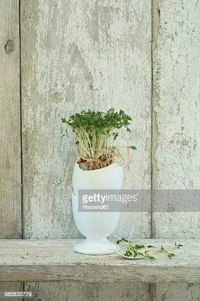 Garden cress growing in an eggshell