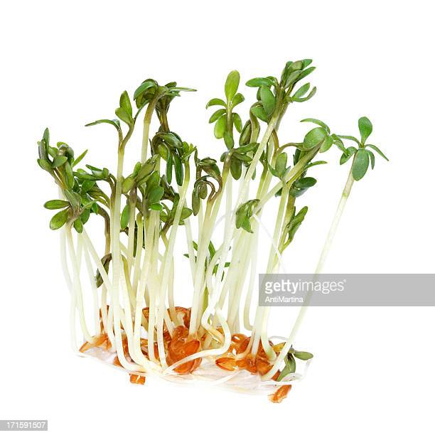 garden cress (lepidium sativum) sprouts isolated on white