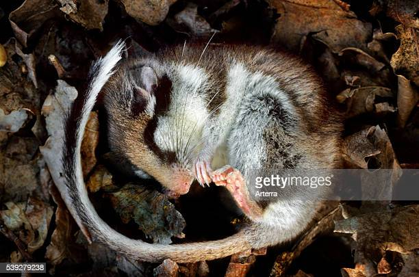 Garden dormouse hibernating by sleeping curled up in nest made of leaves in forest.