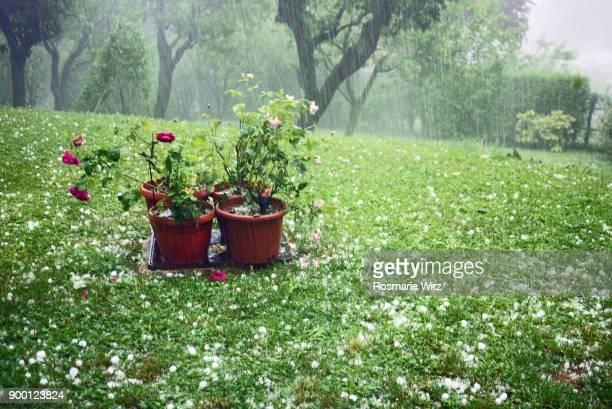 garden during a hailstorm - 雹 ストックフォトと画像