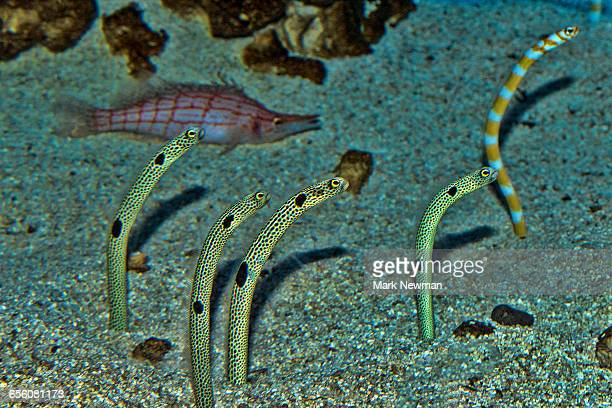 Garden Eel Stock Photos and Pictures | Getty Images