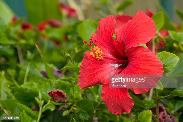 A garden filled with red hibiscus flowers