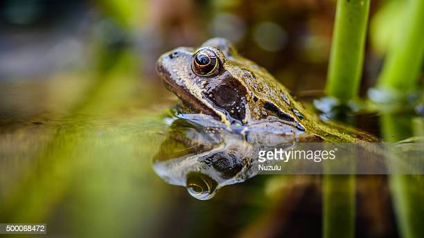 Garden frog with head out of water reflected in pond