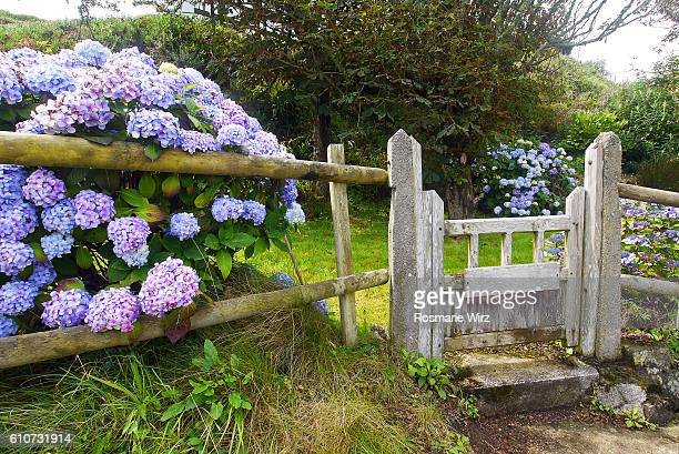 Garden gate with blue hortensia flowers