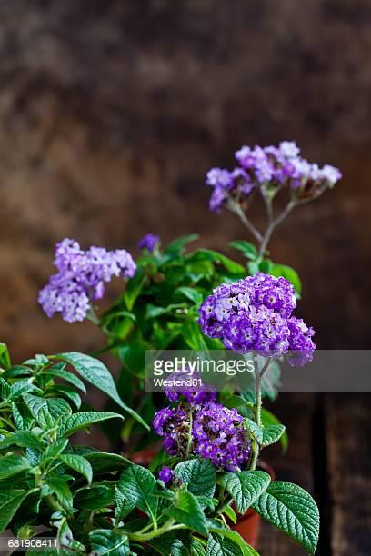 Garden heliotrope, Heliotropium arborescens