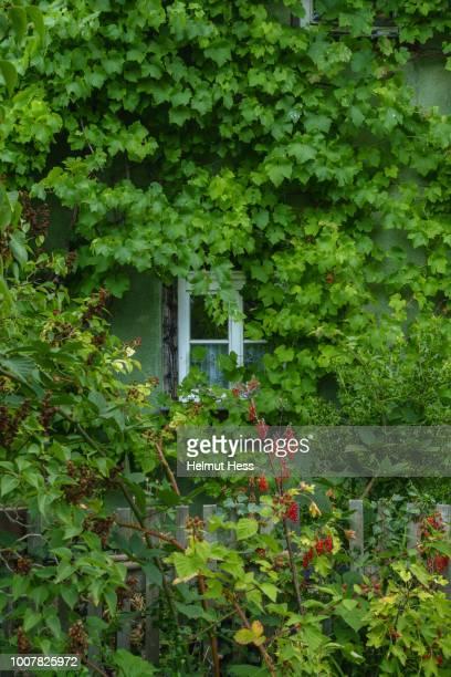 garden house with window and wild vine