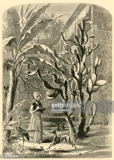 A Garden in Florida' 1872 A woman in a bonnet reads in a tropical garden in Florida USA She is flanked by a banana tree and a large cactus with a...