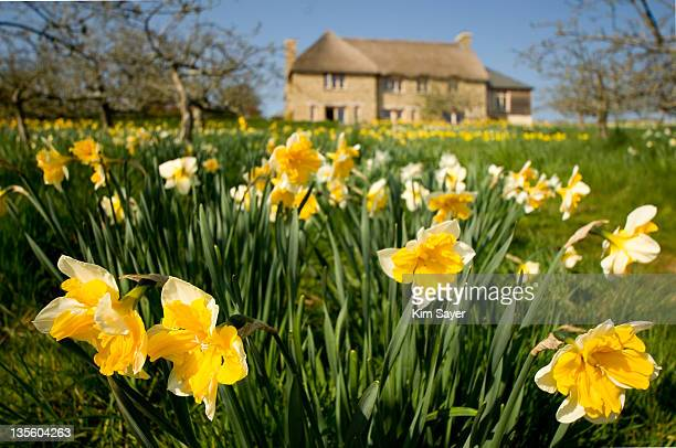 Garden in Spring With Split-Corona Daffodils with Cottage in Background