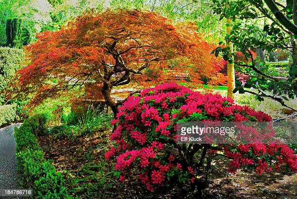 garden in the spring - azalea stock pictures, royalty-free photos & images