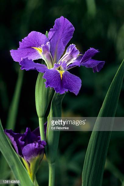 Garden Iris. Iris spp. Native to temperate regions of the northern hemisphere. Many species and hybrids. Afton Villa Gardens. Louisiana. USA