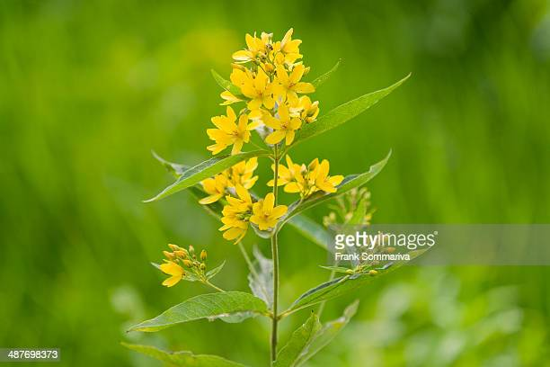 60 Top Loosestrife Pictures, Photos, & Images - Getty Images