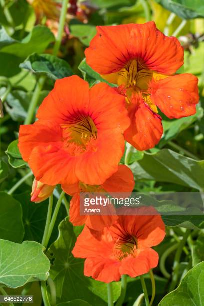 Garden nasturtium / Indian cress/ monks cress in flower native to the Andes from Bolivia north to Colombia