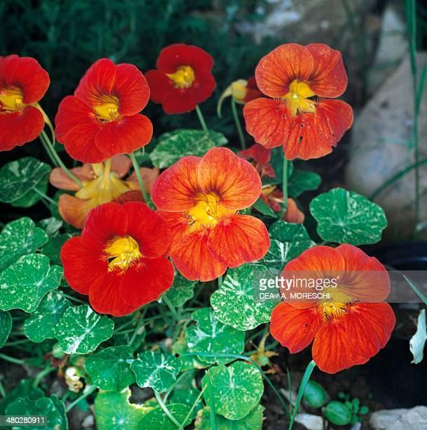 Garden Nasturtium Tropaeolaceae