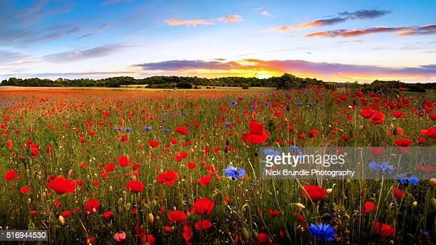 garden of eden - oriental poppy stock pictures, royalty-free photos & images
