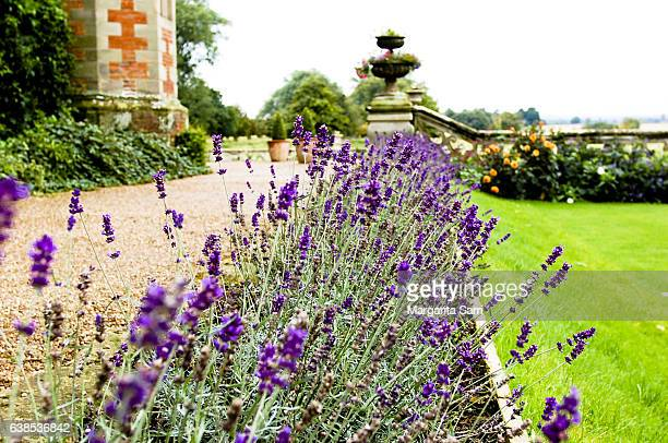 garden of english mansion in charlecote park with lavender flowerbed in bloom - sarri stock pictures, royalty-free photos & images