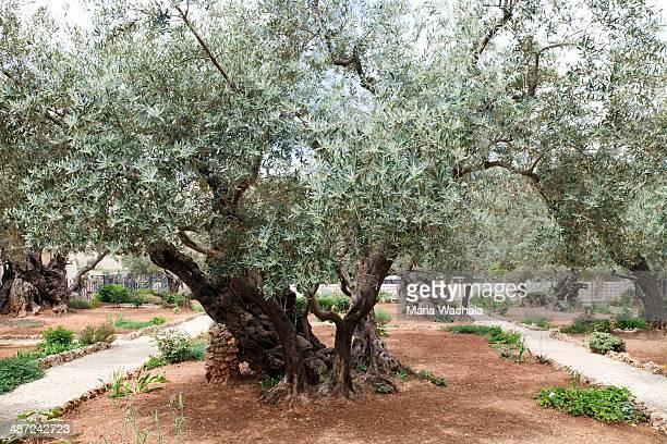garden of gethsemane. jerusalem - garden of gethsemane stock pictures, royalty-free photos & images