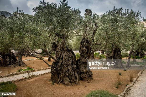 garden of gethsemane - garden of gethsemane stock pictures, royalty-free photos & images